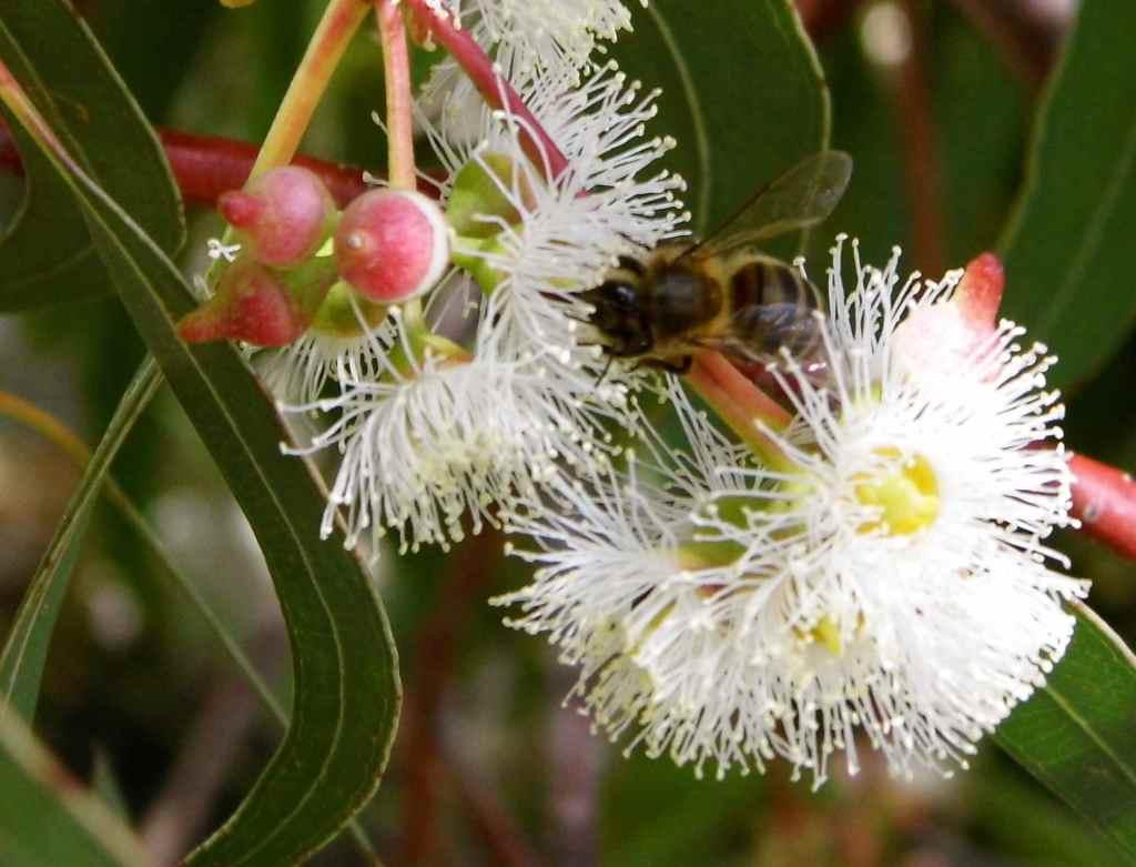 Eukalyptus - 2014 © by D.S. Felix