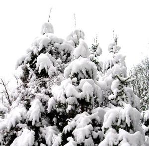 Tannenbäume © D.S. Felix alias Facettenauge