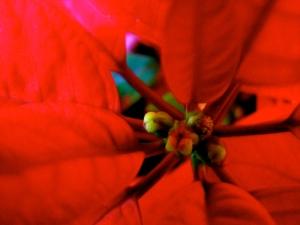 Weihnachtsstern by Dorothea S. Felix